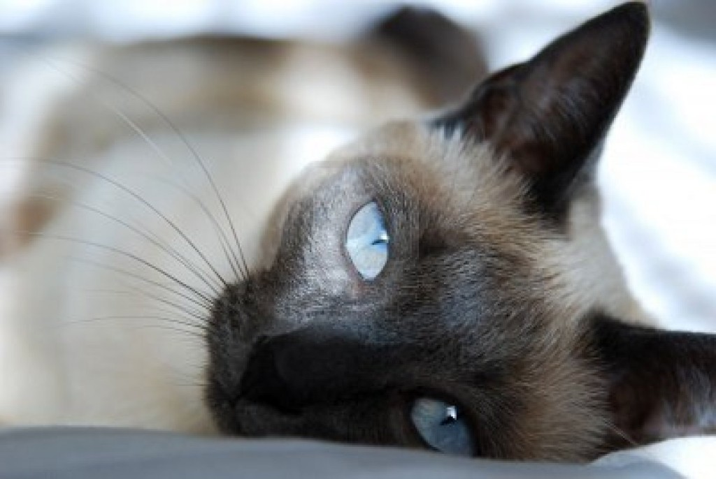 4010081-siamese-cat-with-blue-eyes-rests-on-bed